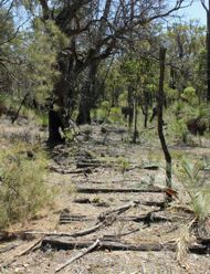 Remains of railway sleepers laid directly on to the forest floor in Argyle forest